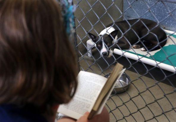"""ora, um border collie-cross, ouve atentamente como membro do Descobrimento Keystone Após Programa Escola lê uma história para ela na raiz Humane Association abrigo amargo em Hamilton, Mont., Quarta-feira 22 de maio de 2013. O gerente do abrigo, Eva Burnsides, disse que o programa é bom para todos. """"As crianças se divertir e os cães realmente apreciá-lo"""", disse ela. (AP Photo / República Ravalli, Perry Backus)"""