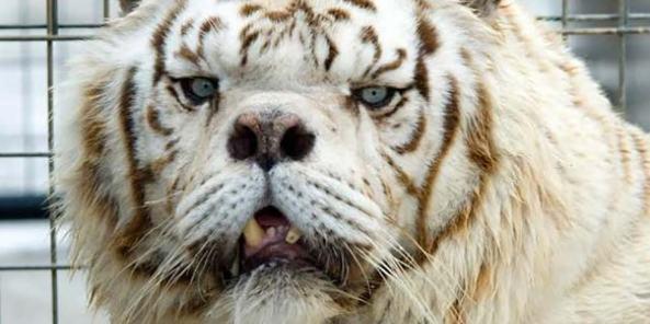 Kenny  tigre branco portador de Síndrome de Down