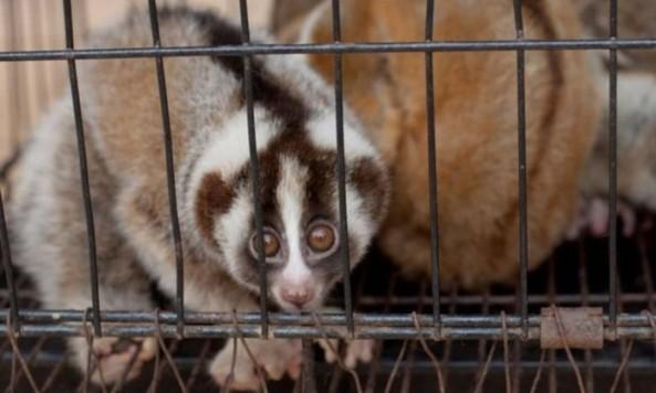 Lóris - Divulgação/ Resgate internacional de Animais